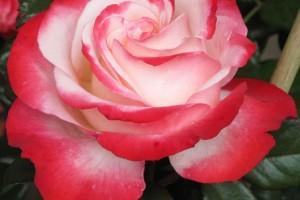 Trandafir floribund Nostalgie C4