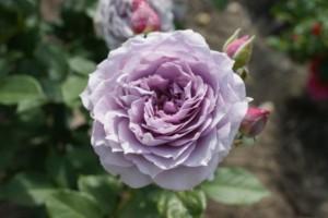 Trandafir floribund Novalis Rna
