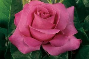 Trandafir Eminence C3