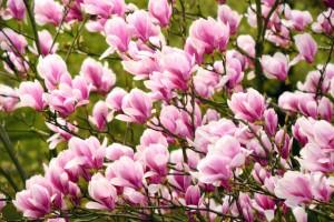 Magnolia roz George Henry Kern C25