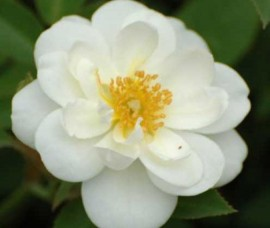 Trandafir floribund Kent Rna