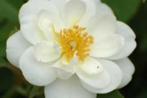 Trandafir floribund-pitic Kent C4