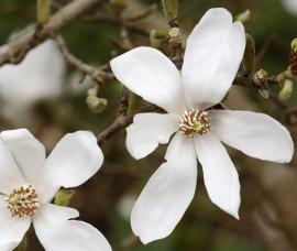 Magnolia Kobus C7,5