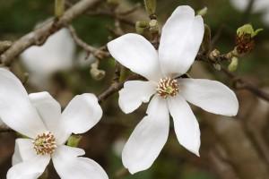 Magnolia Kobus C3