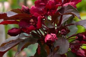 Măr roșu Royalty 180-200cm, C45