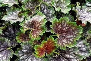 Heuchera Marvelous Marble C1,5