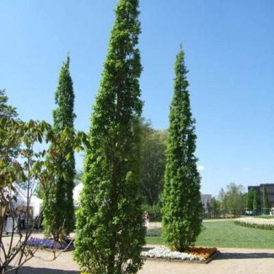 Stejar fastigiat C45