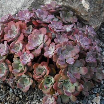 Sedum spathulifolium Purpureum P10