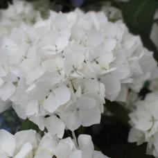 Hortensia macrophyla C7.5