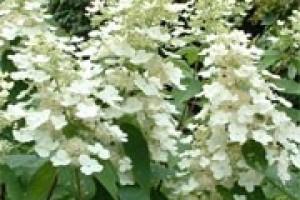 Hortensia paniculata Tardiva C7.5
