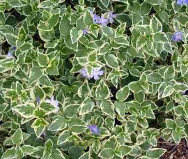 Vinca variegată Argenteovariegata C2
