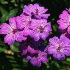 Geranium sanguineum Violet C1,5