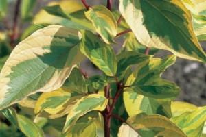 Cornus alba Spaethii C5