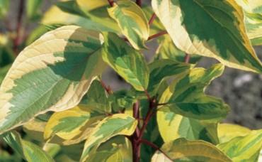 Cornus alba Spaethii C3
