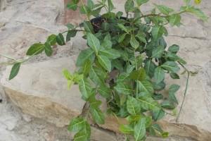 Euonimus verde Coloratus C3