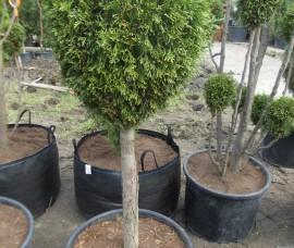 Thuja Smaragd  1 Glob 100-120 cm