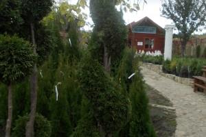 Thuja Smaragd -Spirala 170-200 cm