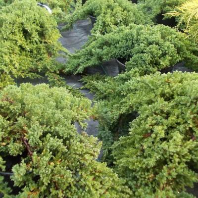 Ienupar procumbens Nana C5