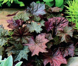 Heuchera Pallace Purple C2