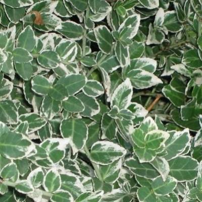 Euonimus verde/alb C3