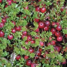 Afin roșu (merișor) Pilgrim C1