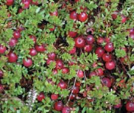 Afin roșu (merișor) Pilgrim C2