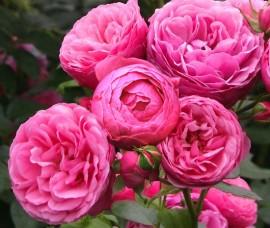 Trandafir multiflore Leonardo da Vinci C4