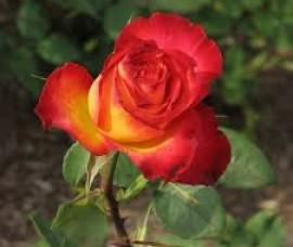 Trandafir teahybrid Alinka C3