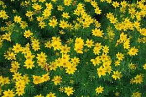 Coreopsis Sunkiss C1,5