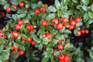 Cotoneaster Coral Beauty C3