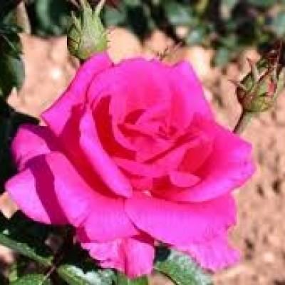 Trandafir Criterion C3