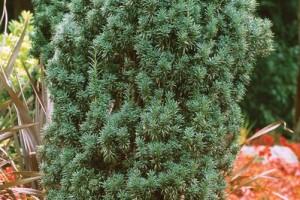 Tisa columnara C7.5