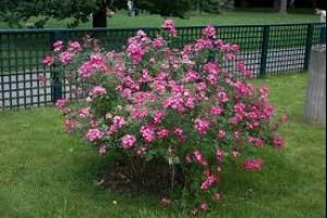 Trandafiri mini Pink C2